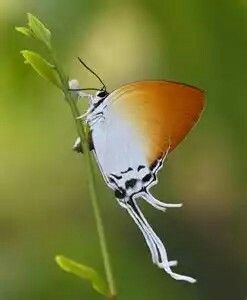 Grand Imperial Butterfly