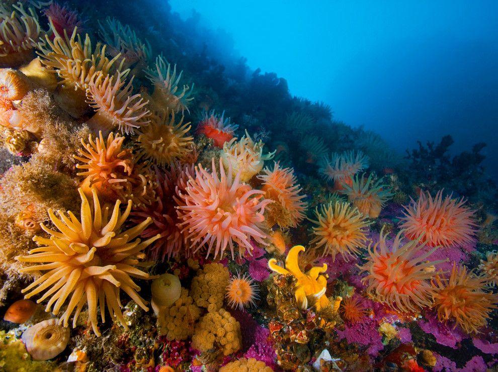 Anémonas y corales   Arrecifes de coral, Anémona de mar, Corales ...