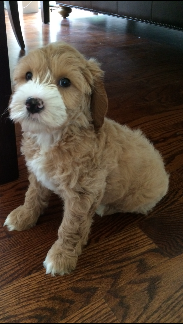 Mini Goldendoodle puppy white paws Mini goldendoodle