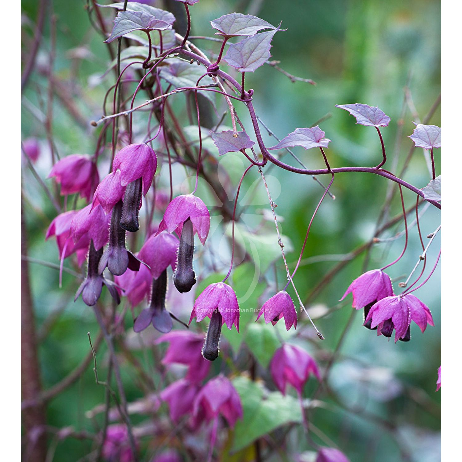 Rhodochiton Atrosanguineus Purple Bells From Sarah Raven This Can Be Grown As