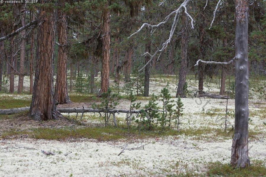 Tirronkangas - Lappi jäkälikkö männikkö poronjäkälä harmaaporonjäkälä metsä…