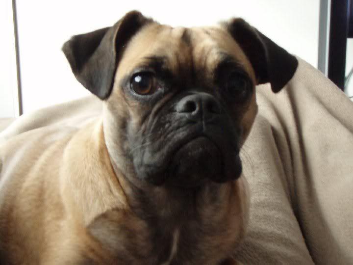 pug/bulldog mix | Nationwide Auctions & Realty, LLC | PUGS ...