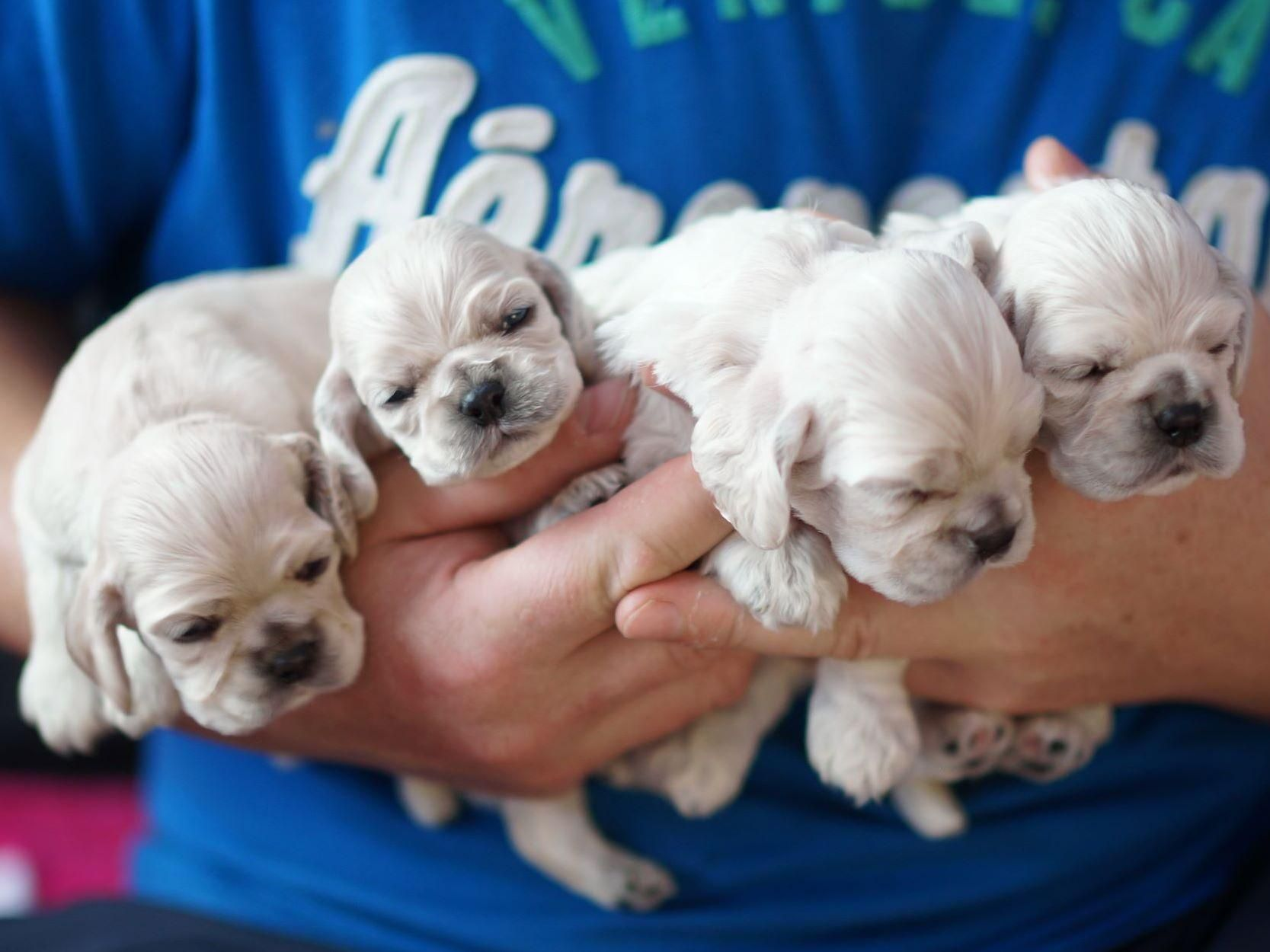 Ania S Cockers Has Puppies For Sale On Akc Puppyfinder Cocker Spaniel Puppies Spaniel Puppies For Sale Spaniel Puppies