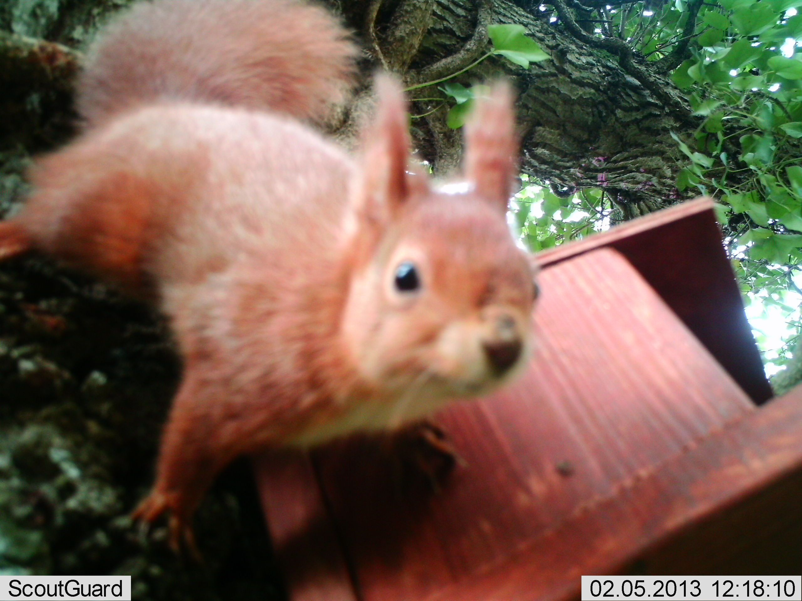 Hello there great photo of a red squirrel. The shot was