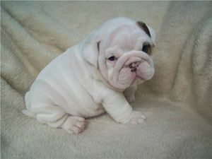 Teacup English Bulldog Full Grown Teachingpet Com English