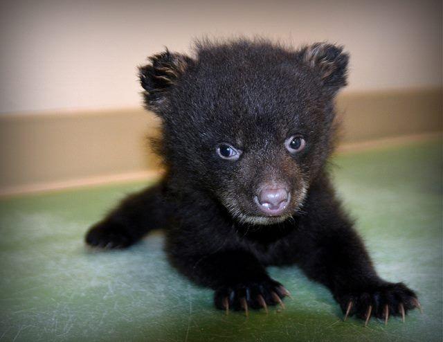 Sự đáng yêu của những chú gấu con