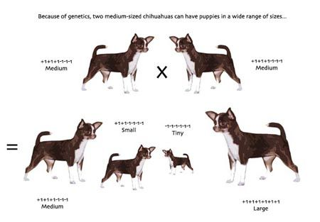 The Pros Cons Of Teacup Chihuahuas Dog Breeds Chart Teacup