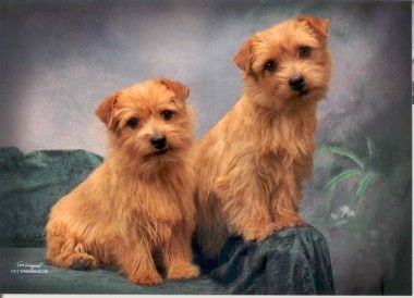 Little Norfolk Terriers Norfolk Terrier Norfolk Terrier Puppies