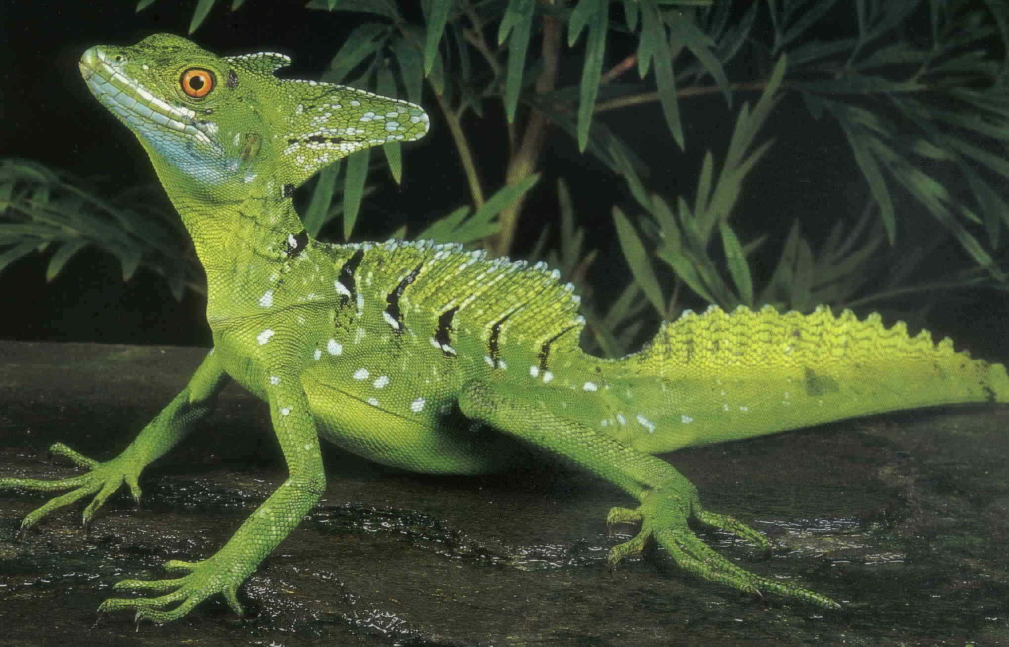 Image result for jesus lizard