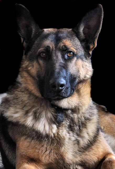 Please Read Beautiful Dogs Dog Breeds Shepherd Puppies