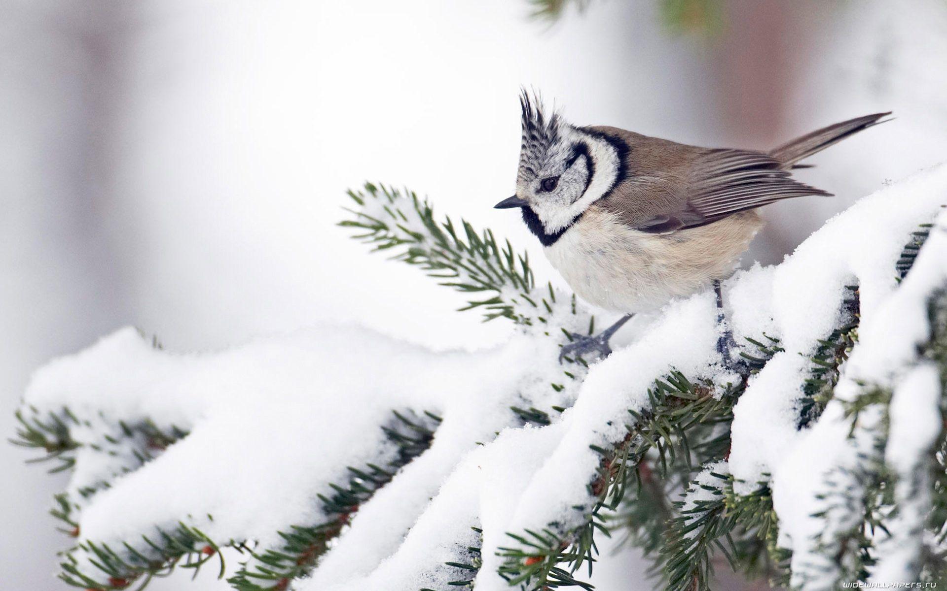 Birds In The Snow Winter Bird Animals Bird Wallpaper