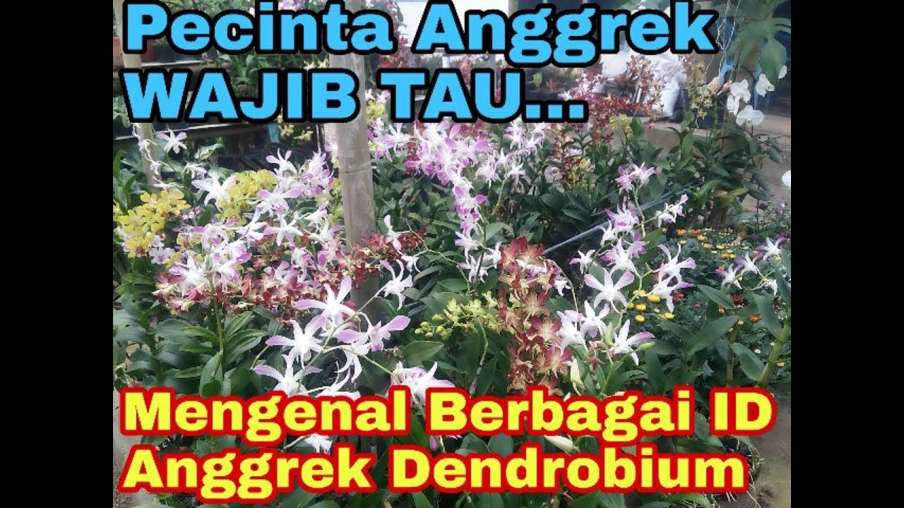Orchid Anggrek Dendrobium Mengenal Jenis Jenis Anggrek