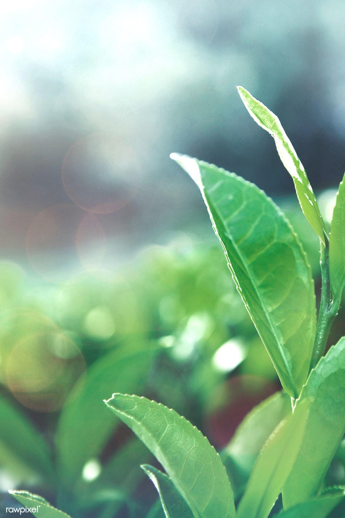 Green Tea Leaves In A Field Free Image By Rawpixel Com Busbus Green Leaf Background Tea Leaves Green Salal
