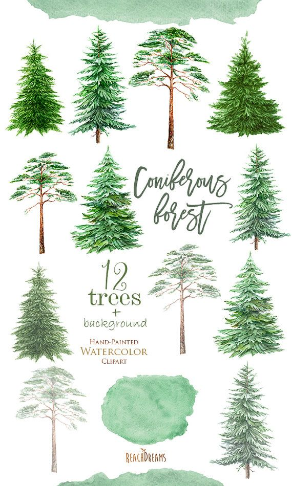 Watercolor Clipart Spruce Pine Conifer Trees Forest Wood