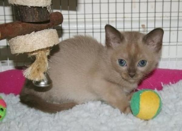 PEDIGREE CHOCOLATE Male Burmese Kitten  I have 1 chocolate | Cute
