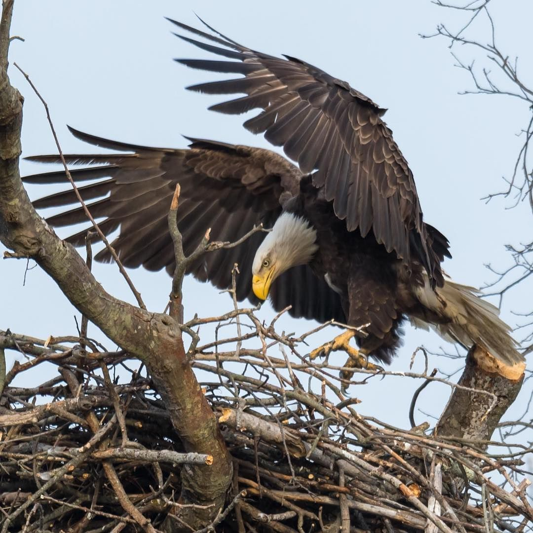 Pin by Mary Joan Fisher on birds Bald eagle, Cool