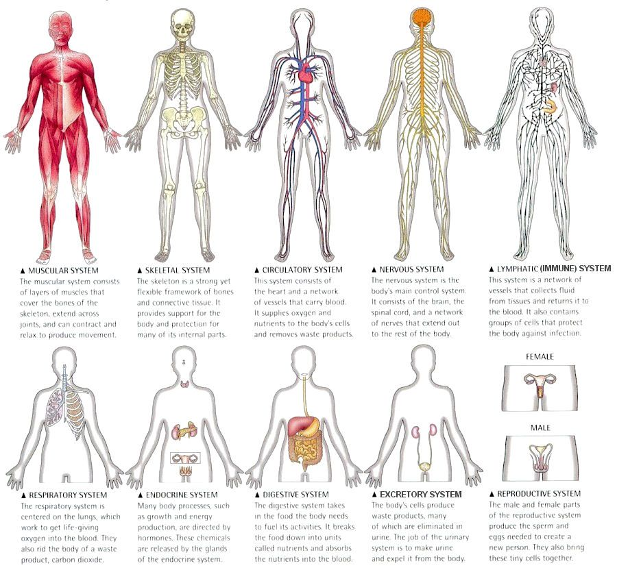 The Human Body Systems on Tildee | How-to and step-by-step ...