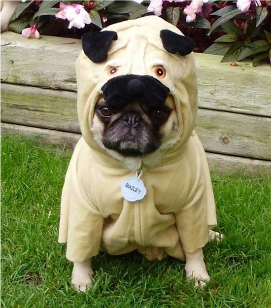 Pug in a pug suit