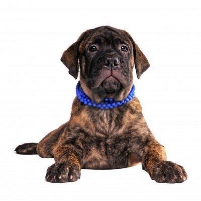 Stock Photo Wish List Dogs Bull Mastiff Puppies Puppies