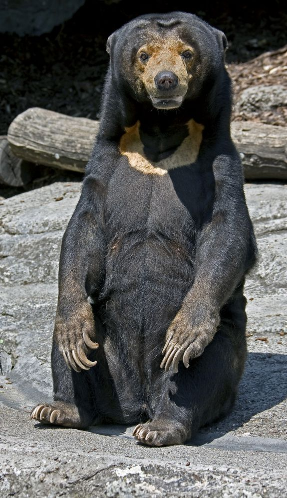The Sun Bear / Ursus Malayanus -  is the smallest of the existing bear species. The average adult sun bear is only 3.3 feet (1 meter) long, and adult males can weigh from 60 to 145 pounds (27 to 66 kg), while the females are somewhat smaller. Found in Southeast Asia, including Malaysia, Bangladesh, Eastern India, Cambodia, Vietnam and Thailand. Sun bears have a tan V on their chest making it look as though they are wearing a golden necklace.- Credit: Mikhail Blajenov | Dreamstime -