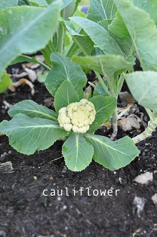 growing cauliflower. I planted this back on Christmas Eve and just noticed a head in my garden. For how to garden, check out blog link.  plans and pictures too! Melanie @ RaisedUrbanGardens.com   grow your own food - it's the best!