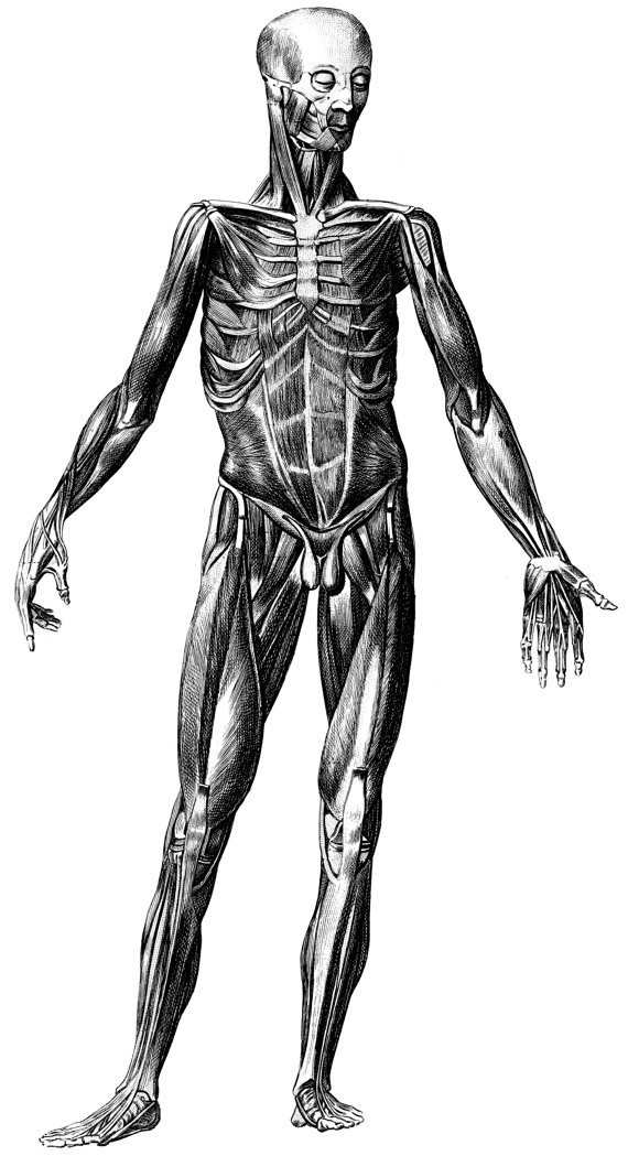 Skeleton, Human Anatomy, Old medical atlas illustration Digital ...