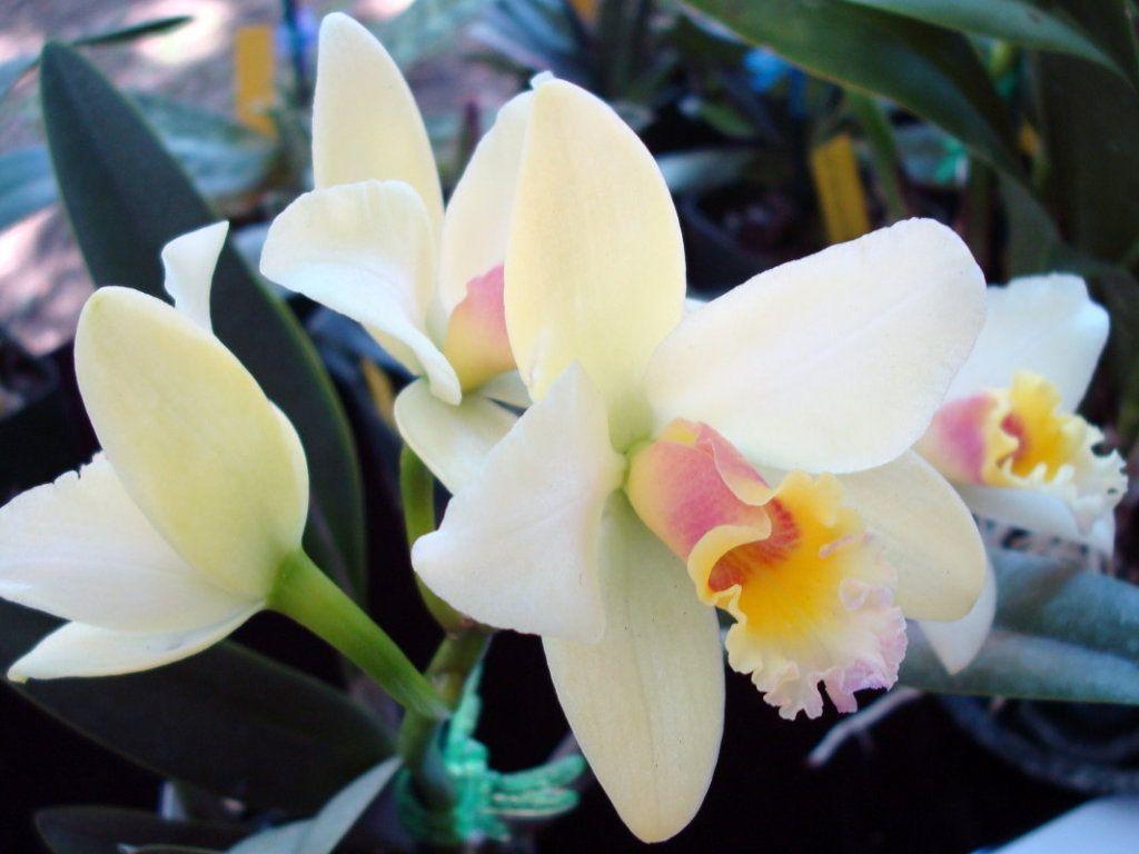 Cattleya luteola Orchids Pinterest