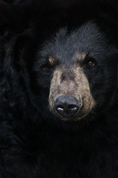 The Black Bear population is on the rise in Michigan.