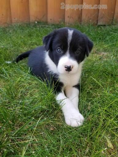 Border Collie Dogs For Sale In United States Wyoming Casper You