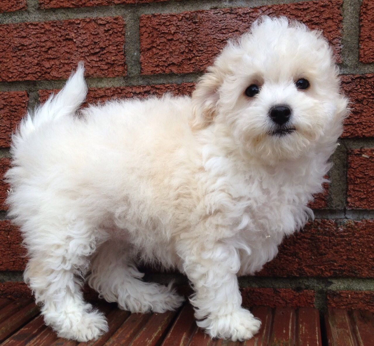 Toy Poodle X Bichon Frise Female Puppy For Sale Bichon Frise