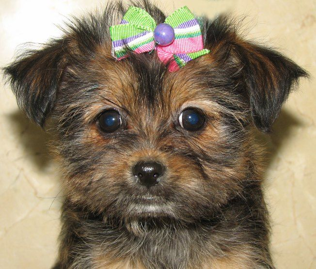 Shorkie Maltese Shorkie Puppies Shorkie Puppies For Sale Maltese Poodle Puppies