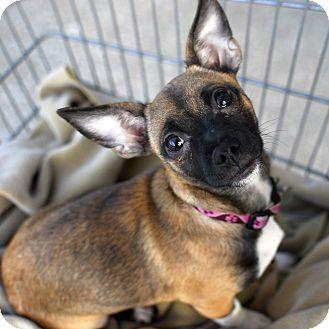 Detroit Mi Chihuahua Mix Meet Hazelnut A Puppy For Adoption Chihuahua Mix Puppy Adoption Chihuahua