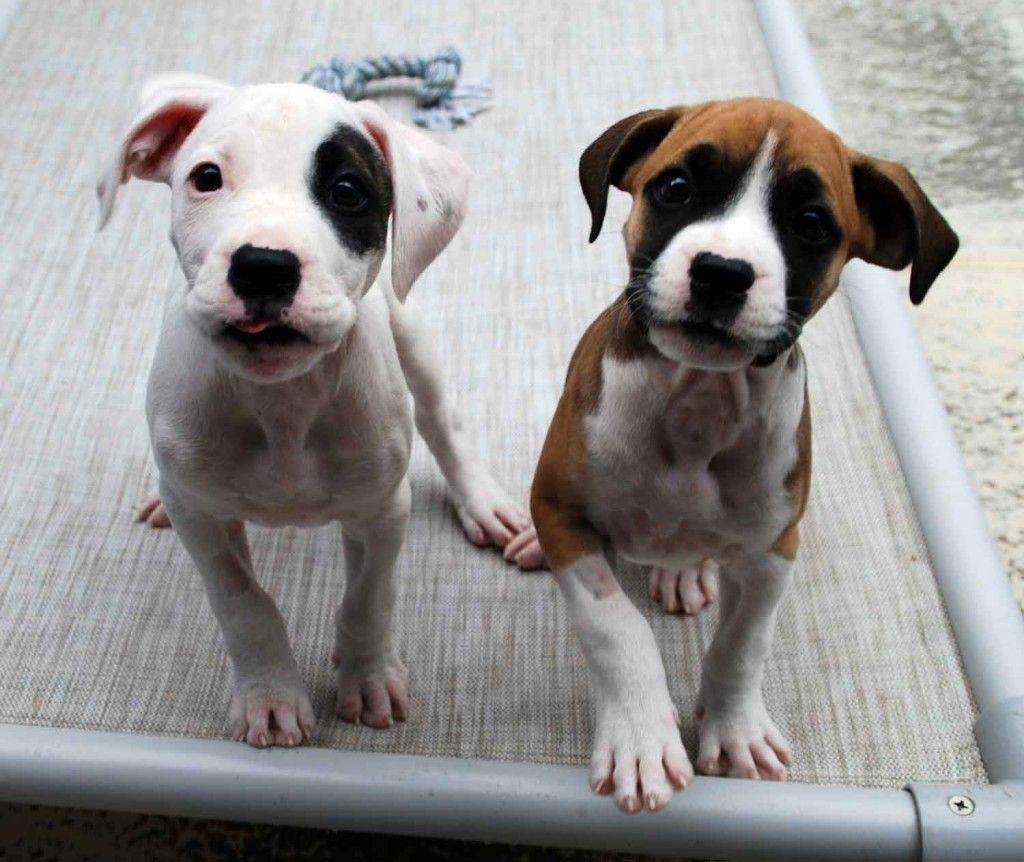 Boxer X Staffy Google Search Labrador Retriever Puppies Lab