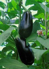 You Can Grow Aubergines From Seed But Watch Out It 8217 S Tricky If You Want To Be Sure Try A Grafted Plant Tip Aubergine Growing Vegetables Growing Food