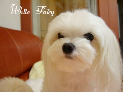 Any short face hair cuts? - Maltese Dogs Forum : Spoiled Maltese ...