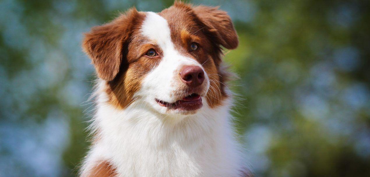 Australian Shepherd Steckbrief (mit Bildern) Hunde