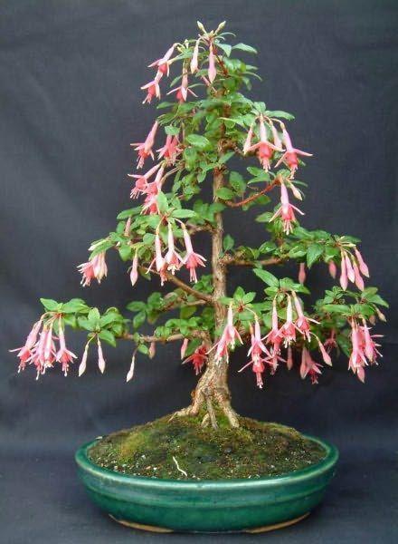 Fuchsia Bonsai : fuchsia, bonsai, Growing, Fuchsia, Bonsai, Tree,, Plants,, Flower