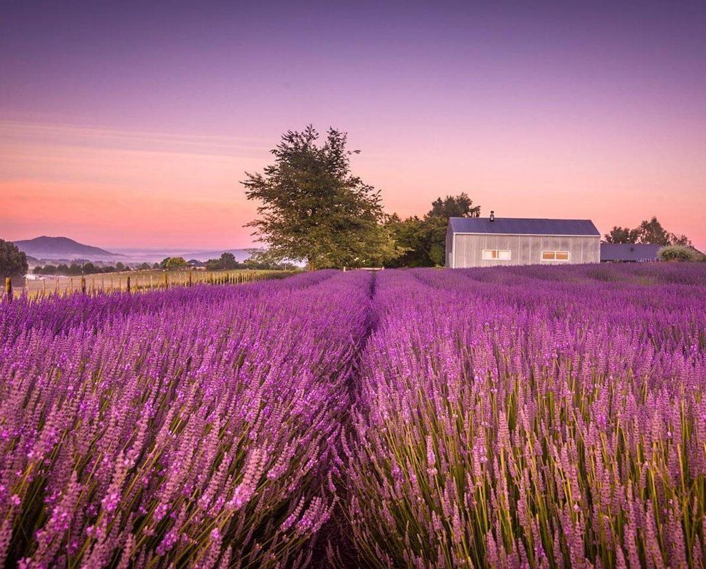 "Haka Tours NZ on Twitter: ""Lovely, lovely Lavender! Imagine the aromas. 💜  Pic: @meghanmaloneyphotography #hakatours … https://t.co/BmIERnGIsF https://t.co/HD4XQAZcbq"""