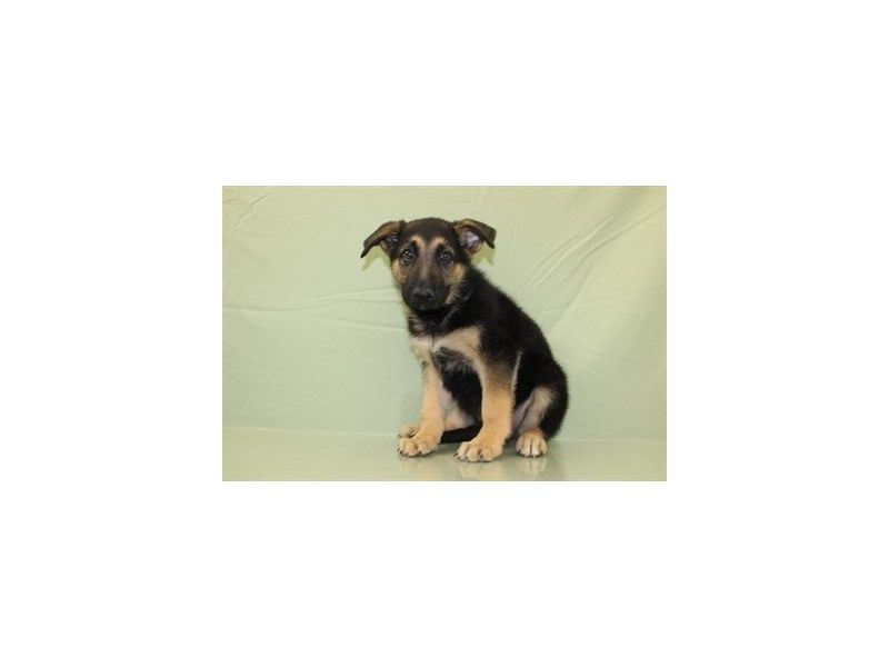 German Shepherd Available At Petland Jacksonville Call Us To Learn More About Our Available Pets Puppies Pets Cute Puppies