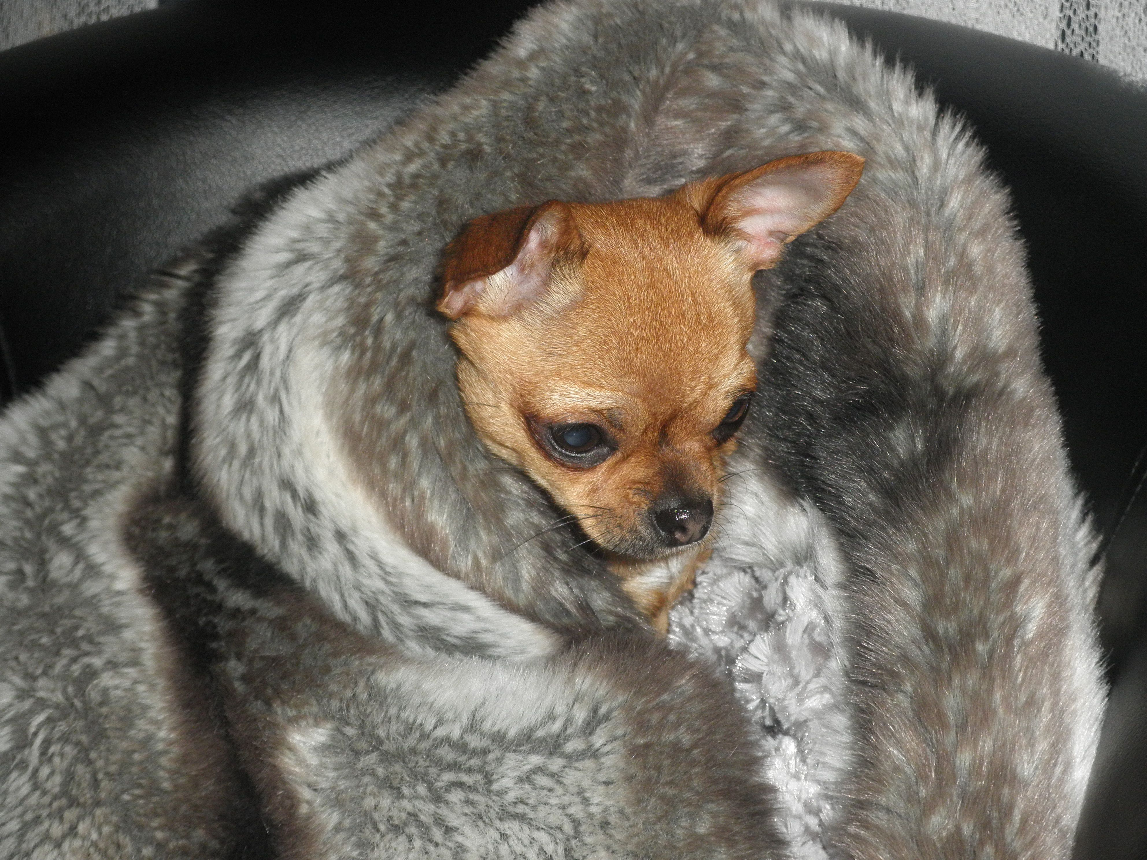 Cuddle Cup gris | CHIHUAHUA | Pinterest
