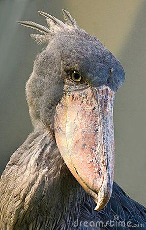 africanshoebillbird shoebill shoebill bird