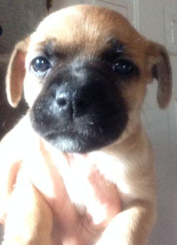 Adopt DUMPLING on Boxer terrier mix, Terrier mix dogs