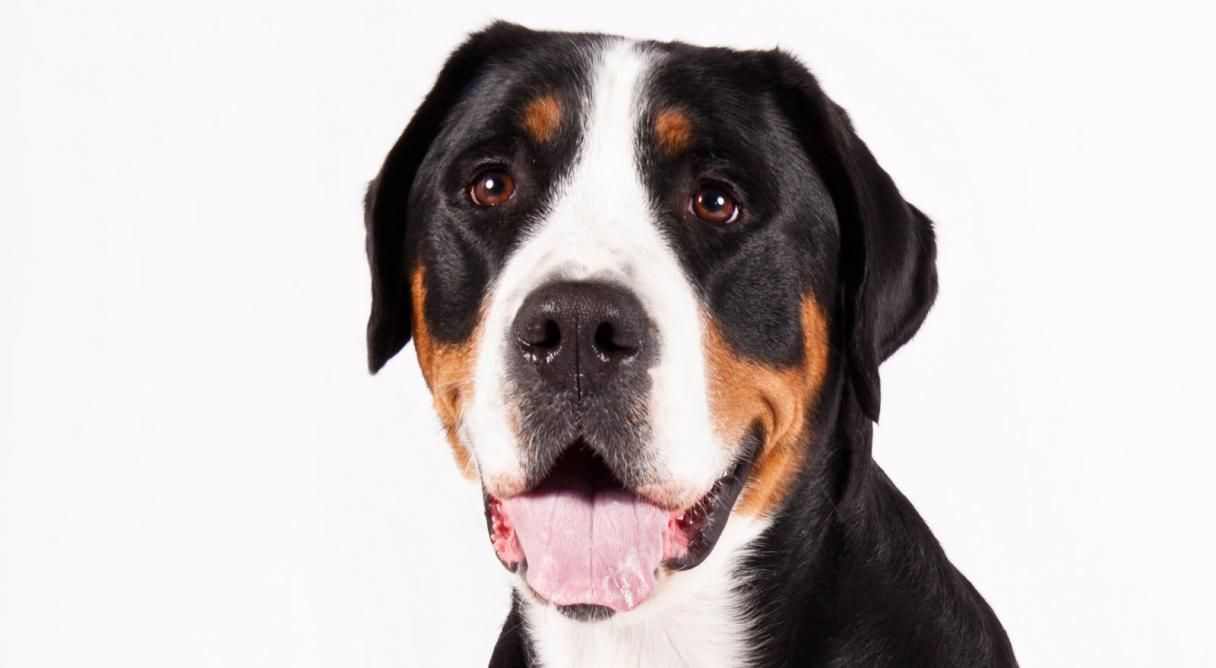 Greater Swiss Mountain Dog Dog Breed Information Mountain Dog