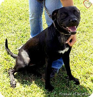 Westampton Nj Labrador Retriever American Staffordshire Terrier Mix Meet Chica D 61186 A Dog For Adoption Htt Kitten Adoption Pets Labrador Retriever Mix