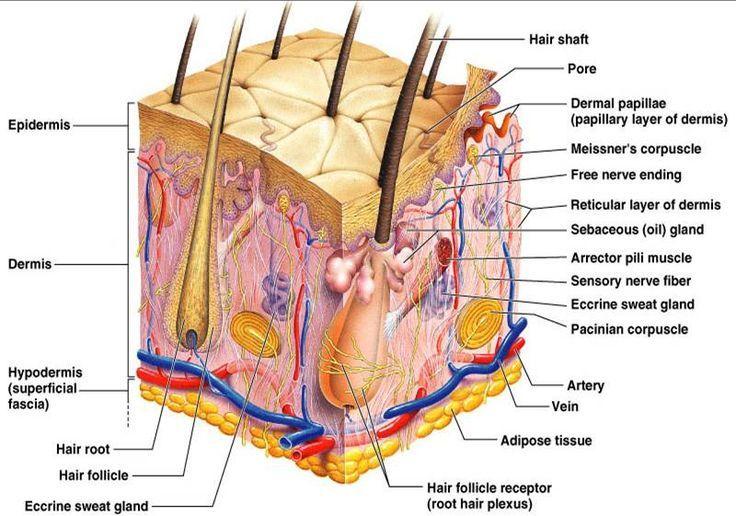 Anatomy And Physiology Skin Detailed Anatomy Nursing Study