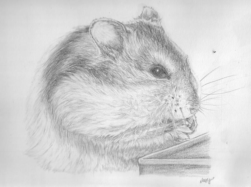 how to draw a dwarf hamster drawing tutorial z coloring all animals pinterest draw tutorials and sketches