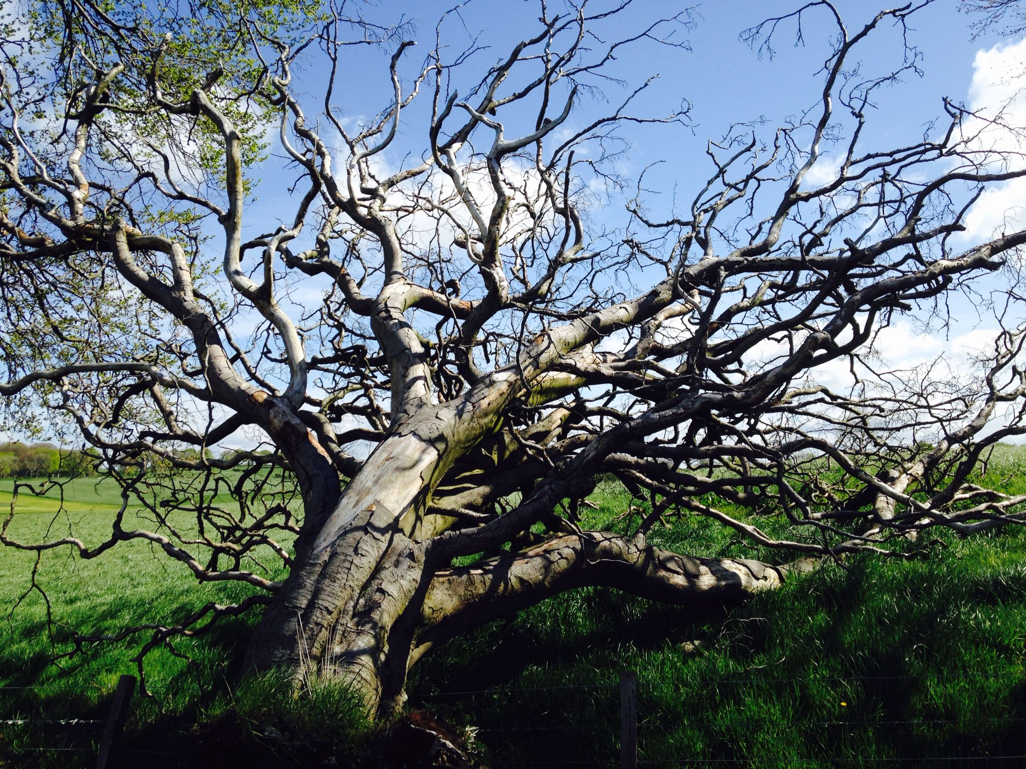 Dead tree Strathaven
