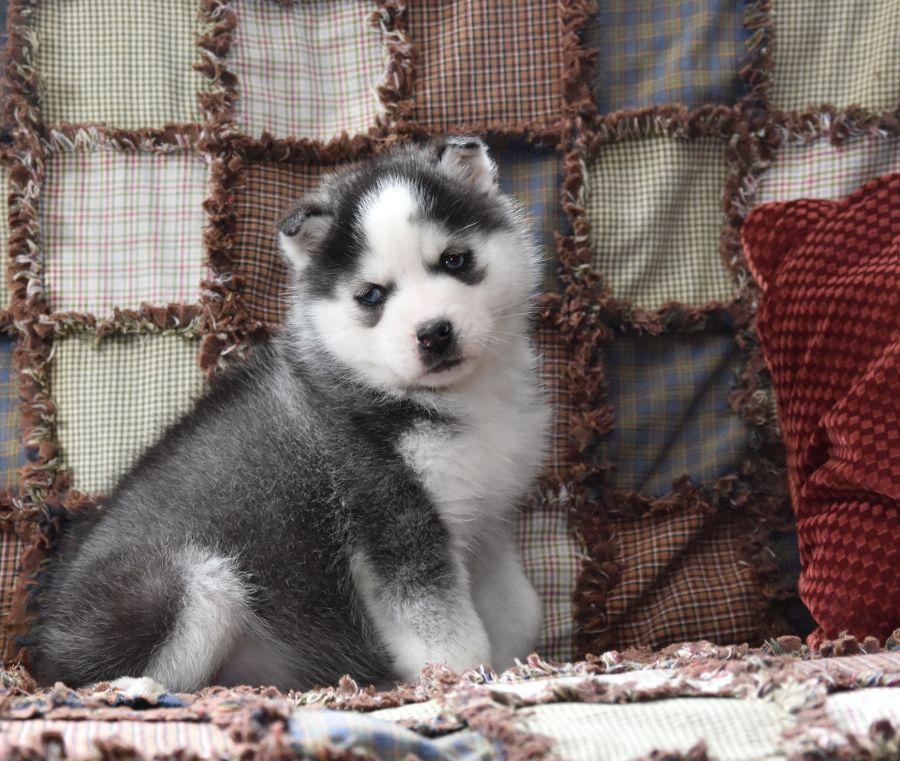 Puppy Love Siberianhusky Siberian Husky Husky Siberian Husky