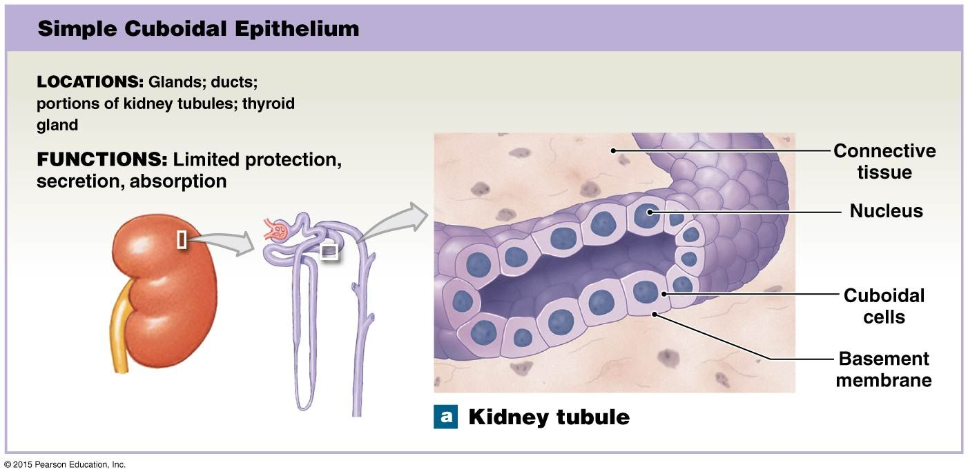 Simple Cuboidal Epithelium Of Kidney Tubule In 2020 Basement Membrane Human Anatomy And Physiology Body Fluid