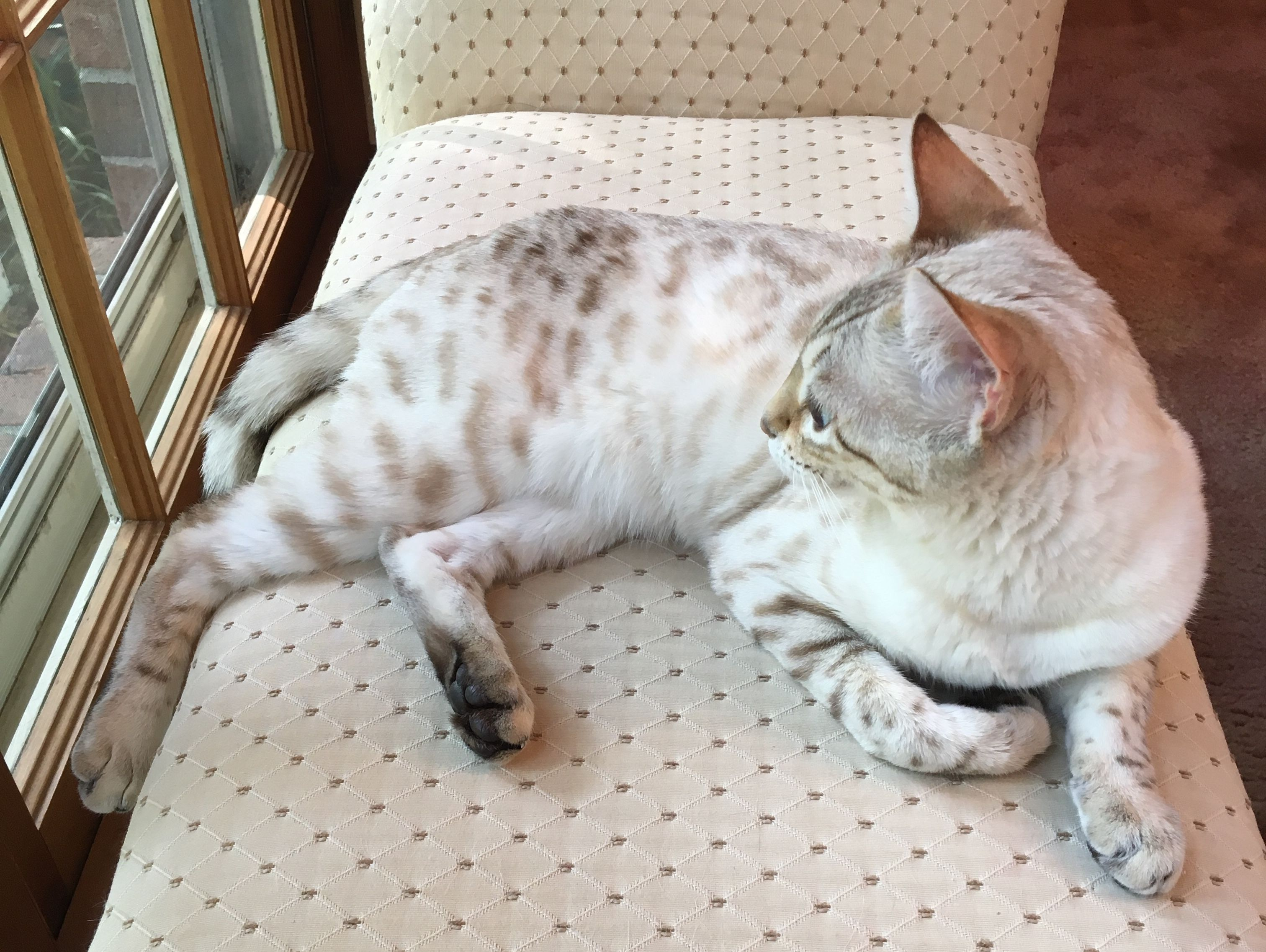 Sunshine And Shades Of Pale Bengal Kitten 9 Months Old Bengal Kitten Bengal Cat Kitten
